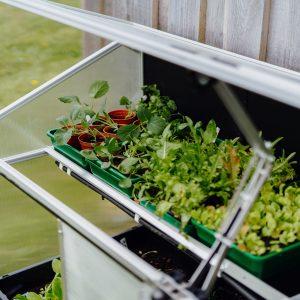 salad in mini greenhouse uk